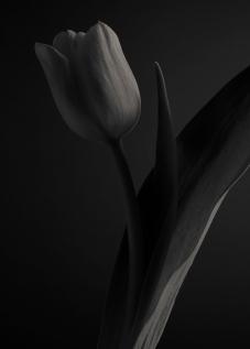 Darwin Hybrid Tulip