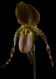 Lady Slipper Orchid and Bud #3