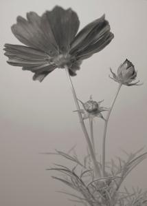 Lavender Cosmos