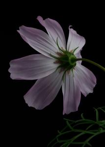 Lavender Cosmos #2