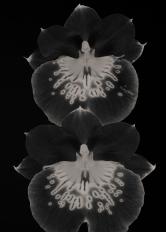 Miltoniopsis Orchids