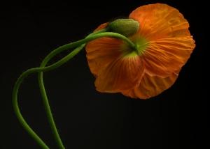 Orange Icelandic Poppy and Bud
