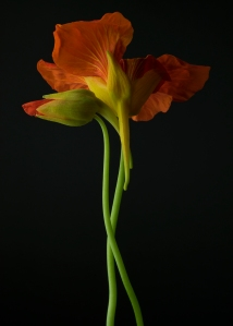 Orange Troika Nasturtium