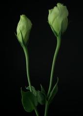Rosanne Green Lisianthus