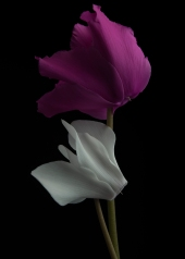 White and Maroon Cyclamen