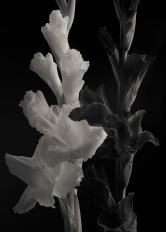 White and Purple Gladiolus