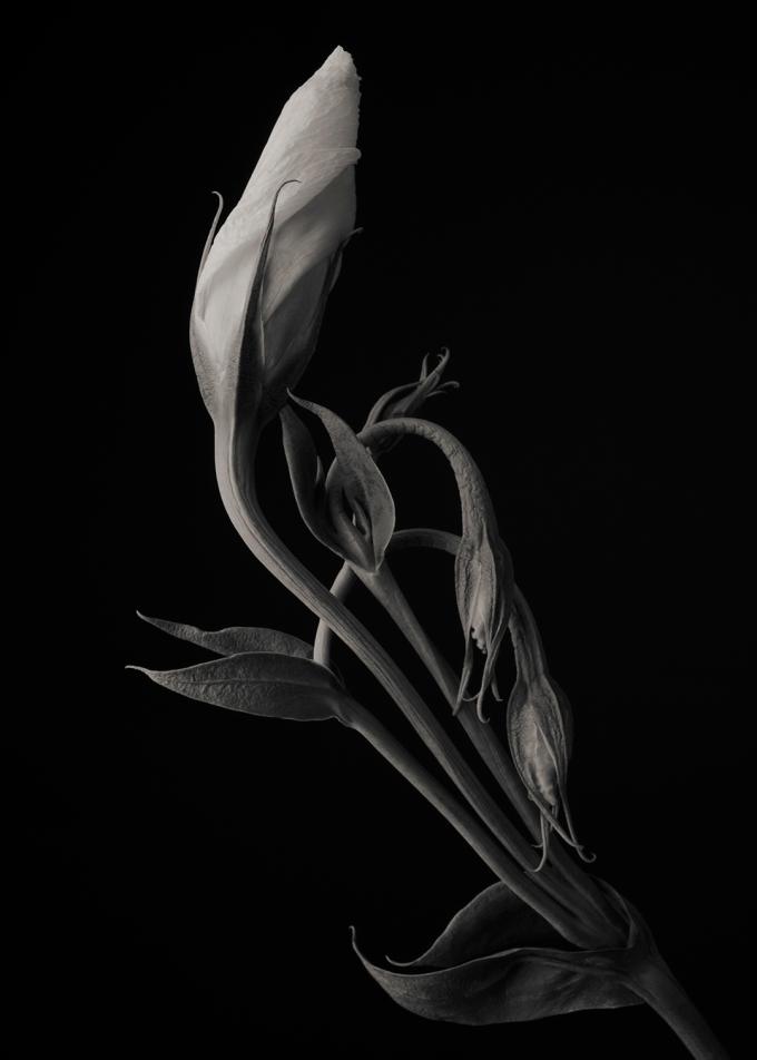 White Lisianthus