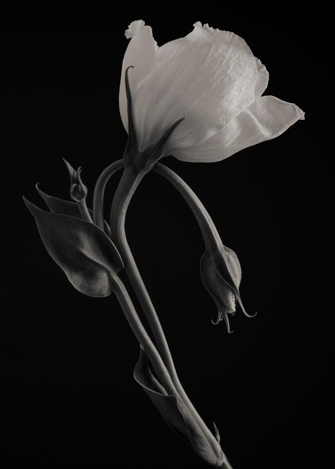 White Lisianthus #2