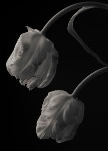 White Parrot Tulips #2