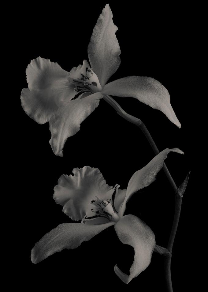 Beallara Orchids #2