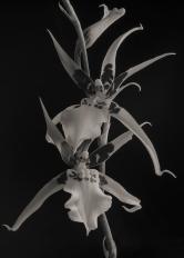 Brassidium Orchids #2
